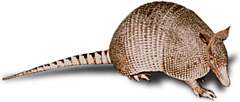 A not so furtive armadillo